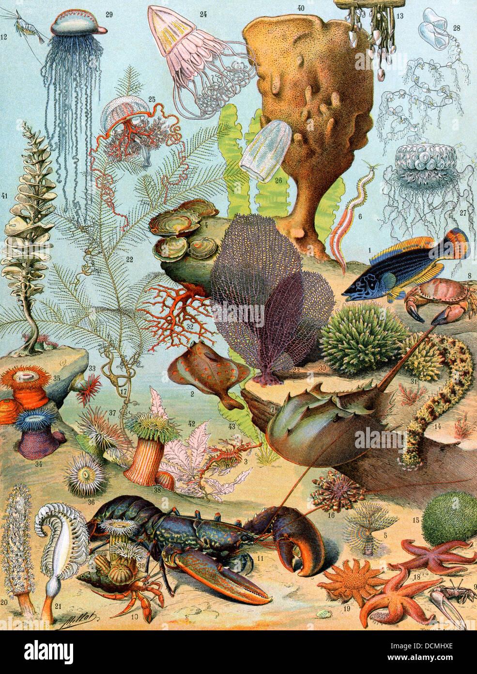 La vie sur le fond de la mer, y compris les crustacés et mollusques. Lithographie couleur Photo Stock