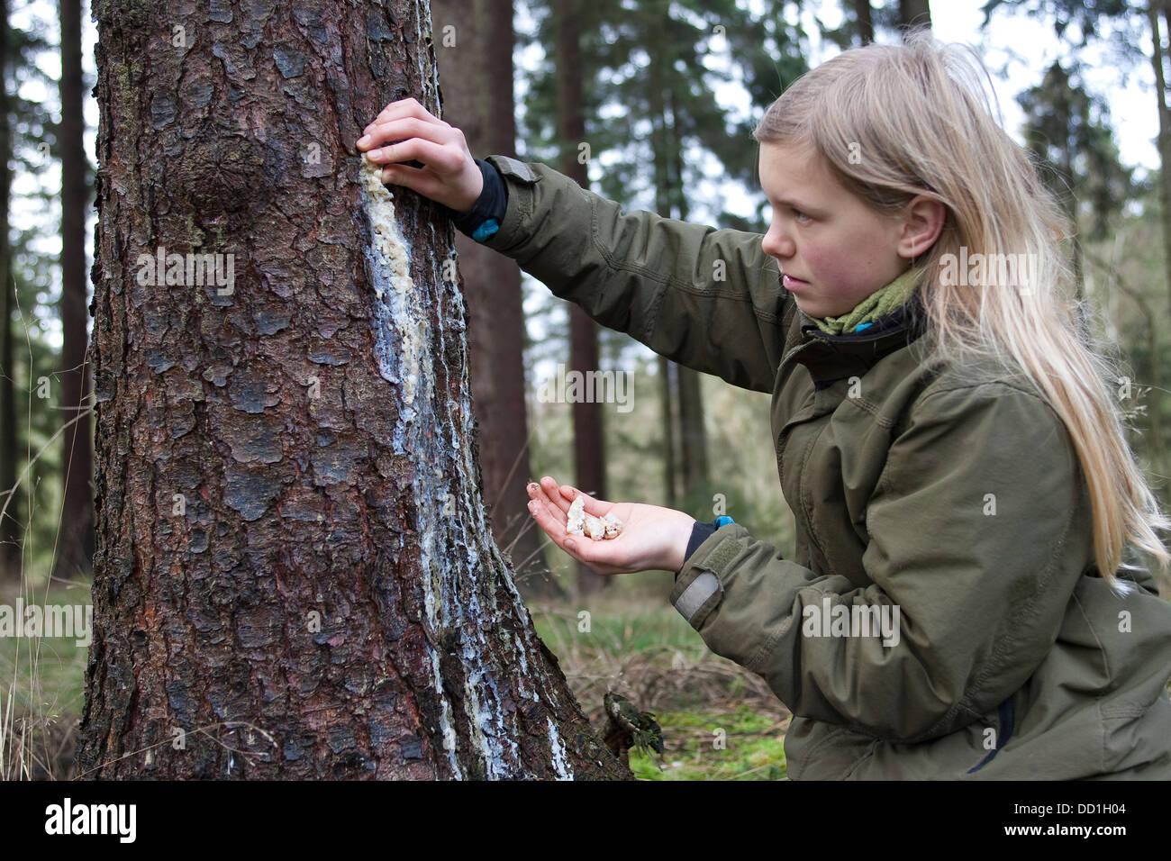 Pas de liquide, arbre de la gomme, Epicéa commun, Baumharz Fichtenharz, Harz,, Fichte, Rotfichte, Picea abies Banque D'Images