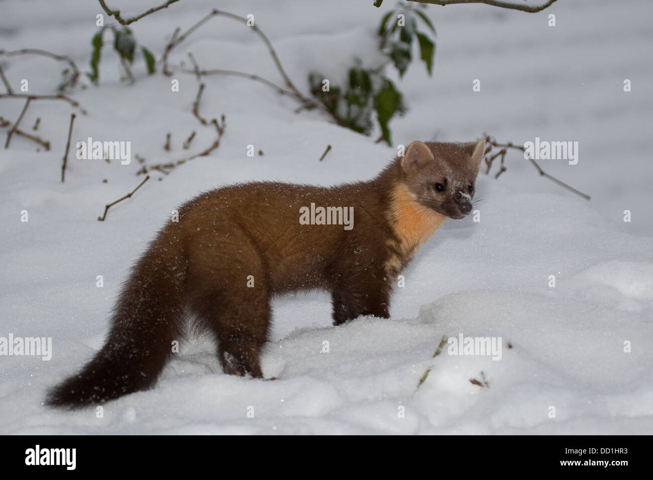 la martre d'europe, hiver, neige, baummarder, baum-marder