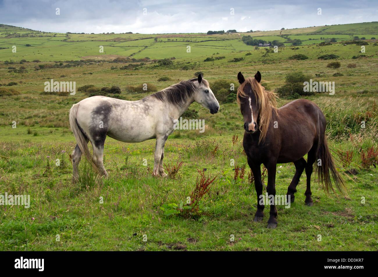 Poneys sauvages sur Bodmin Moor, près de Bolventor, Cornwall. Un UK Banque D'Images