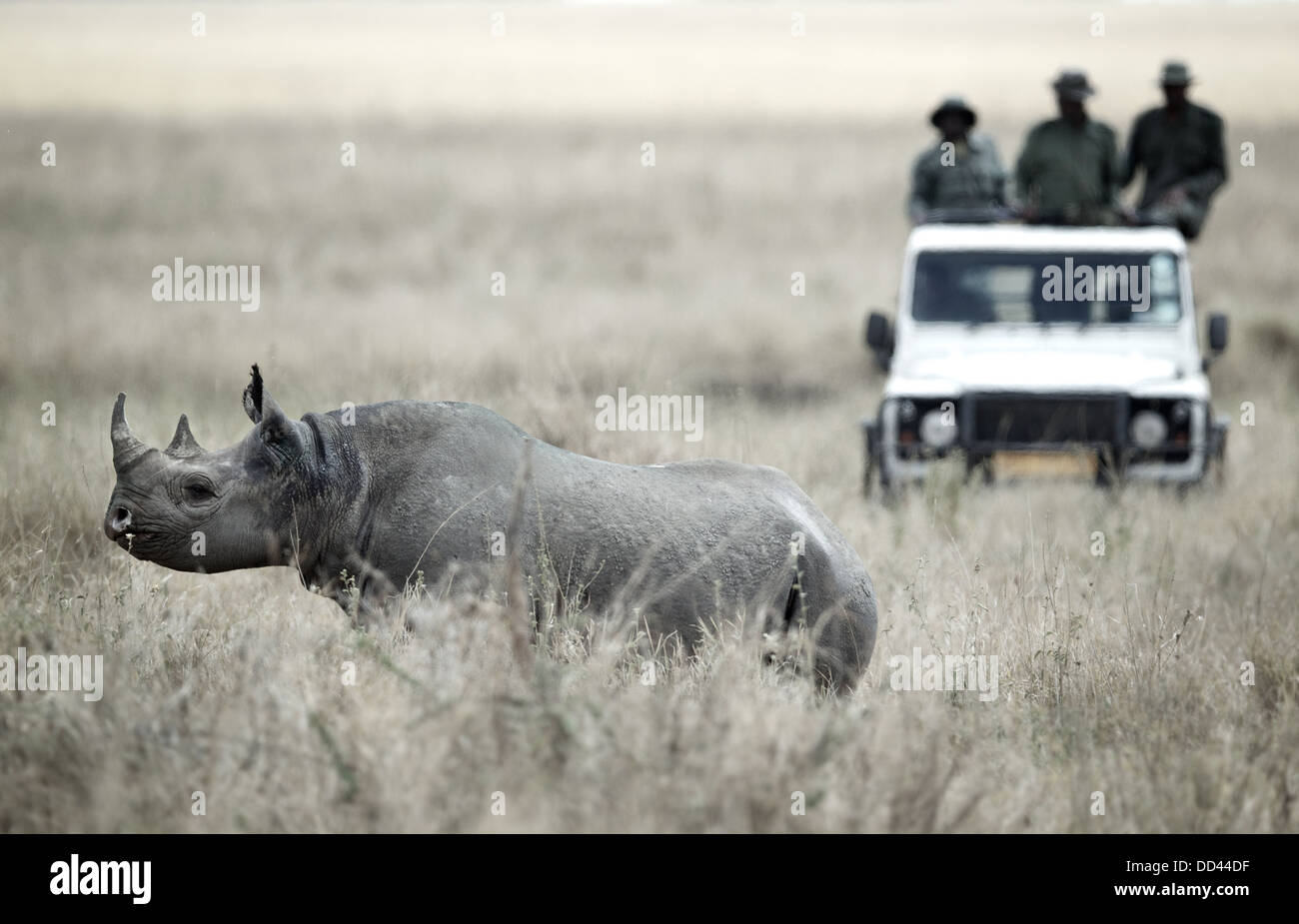 Un rhinocéros noir Diceros bicornis sous surveillance attentive par les gardes de parc tanzanien du TANAPA Banque D'Images