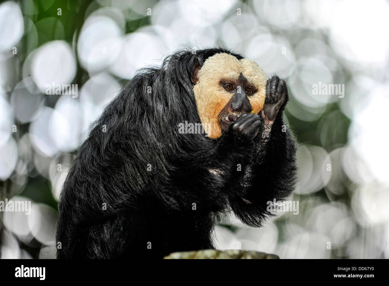 Asie Singapour Saki monkey dans le Zoo de Singapour Photo Stock