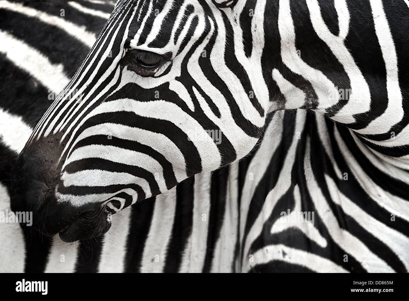 Zebra tourne à zéro son corps. Serengeti . La Tanzanie . Afrique du Sud Photo Stock