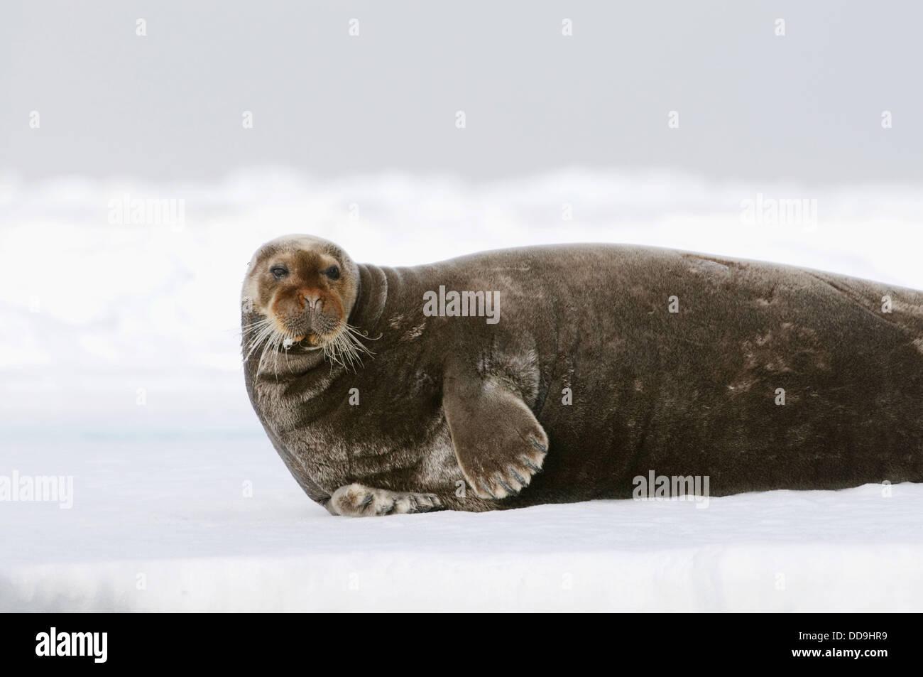 Le Phoque barbu reposant sur un pack de glace flottante près de la calotte polaire, banque France Photo Stock
