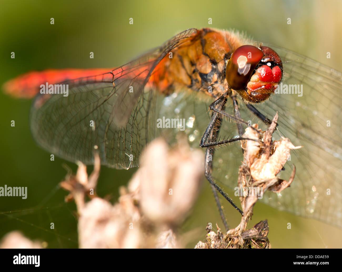 Libellule rouge me regarde en tenant sa photographie Banque D'Images
