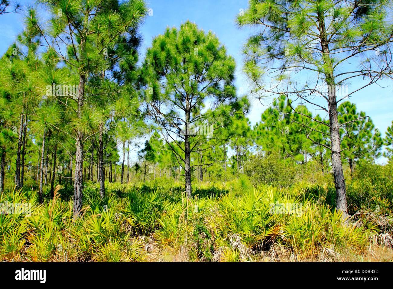 L'écosystème du pin Flatwoods Florida USA Photo Stock