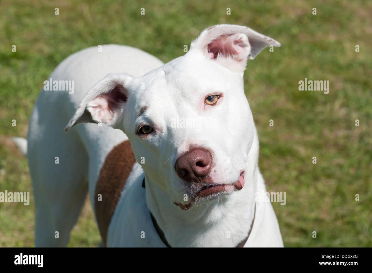 Bouledogue Américain blanc/collie/croisement greyhound dog, face à l'appareil photo avec tête inclinée Banque D'Images