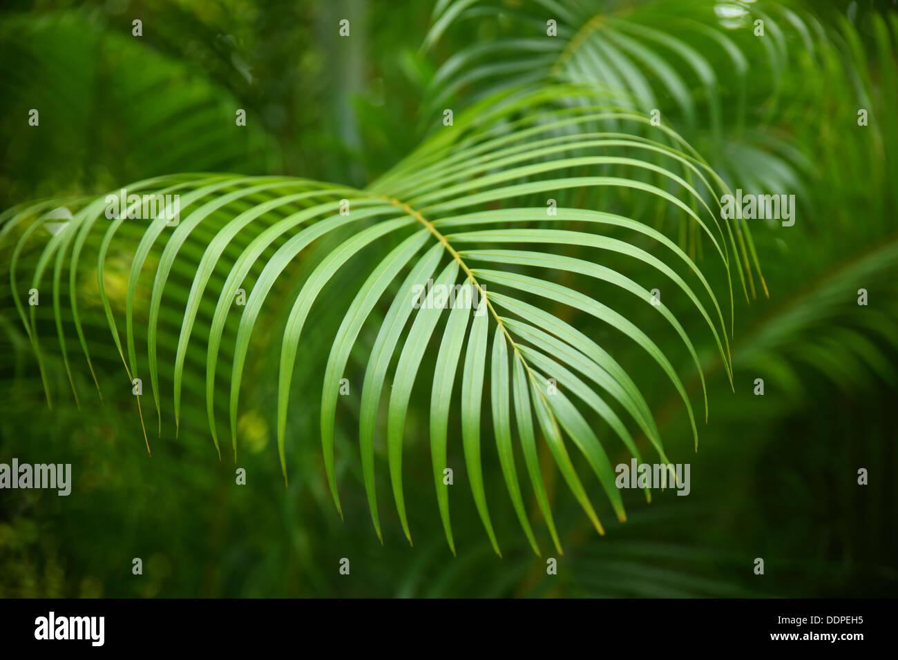 Des branches de palmiers tropicaux, Costa Rica Photo Stock