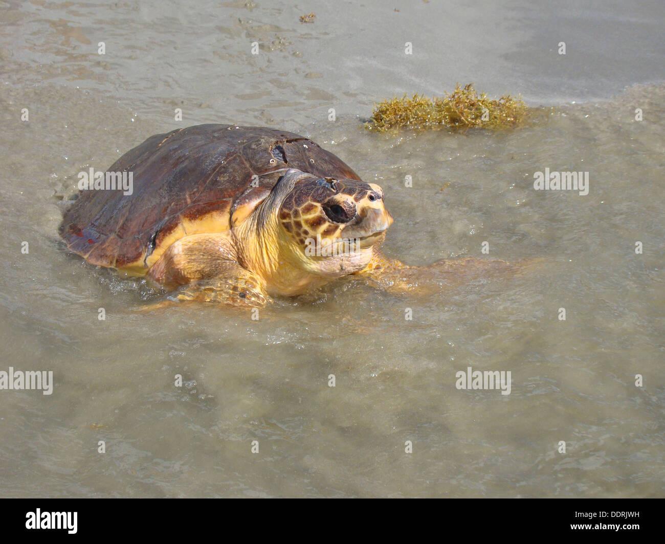 Une espèce menacée tortue de mer verte commence à nager après avoir été libéré au large de la côte de Port Aransas, Banque D'Images