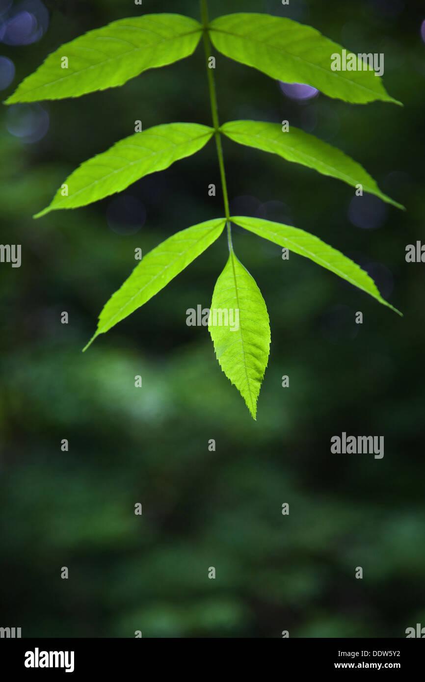 Close up des feuilles d'un arbre frêne vert, selective focus sur l'extrémité des lames. Photo Stock