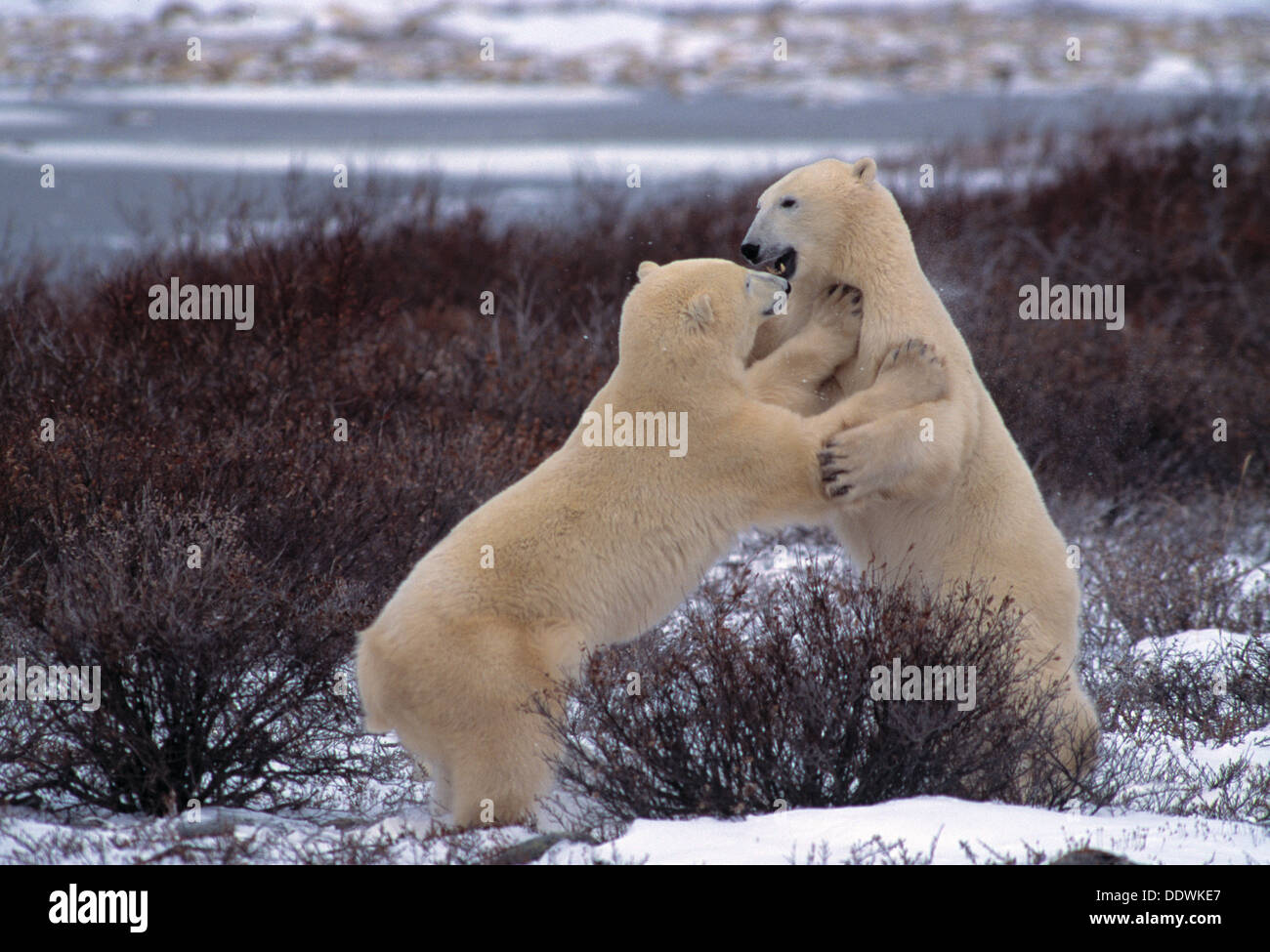 Les ours polaires playfighting près de Churchill Manitoba Canada Banque D'Images