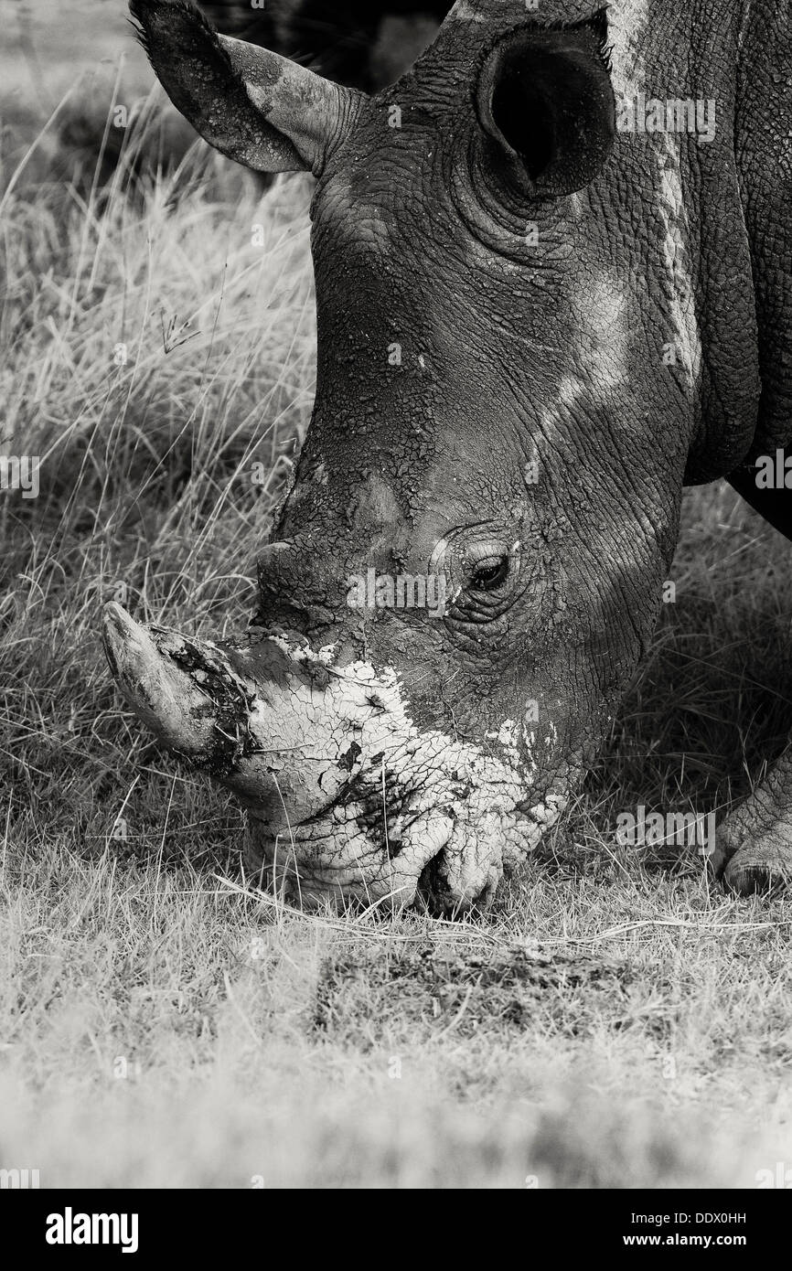 Seul le pâturage white rhino: détail de côté, tête vue oblique en monochrome, le lac Nakuru, Kenya Banque D'Images