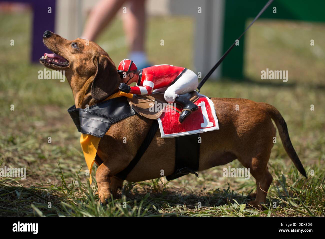 """Un teckel à poils courts en costume sur la photo lors de l'assemblée 'Wiener prend toutes les races teckel"""" à Bella Vista, arche. Photo Stock"""