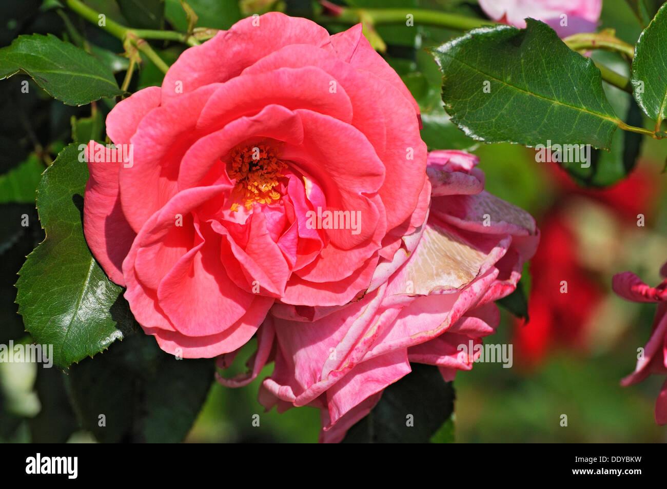 Roses (Rosa) dans la cour jardin, Dachau, Bavière Photo Stock