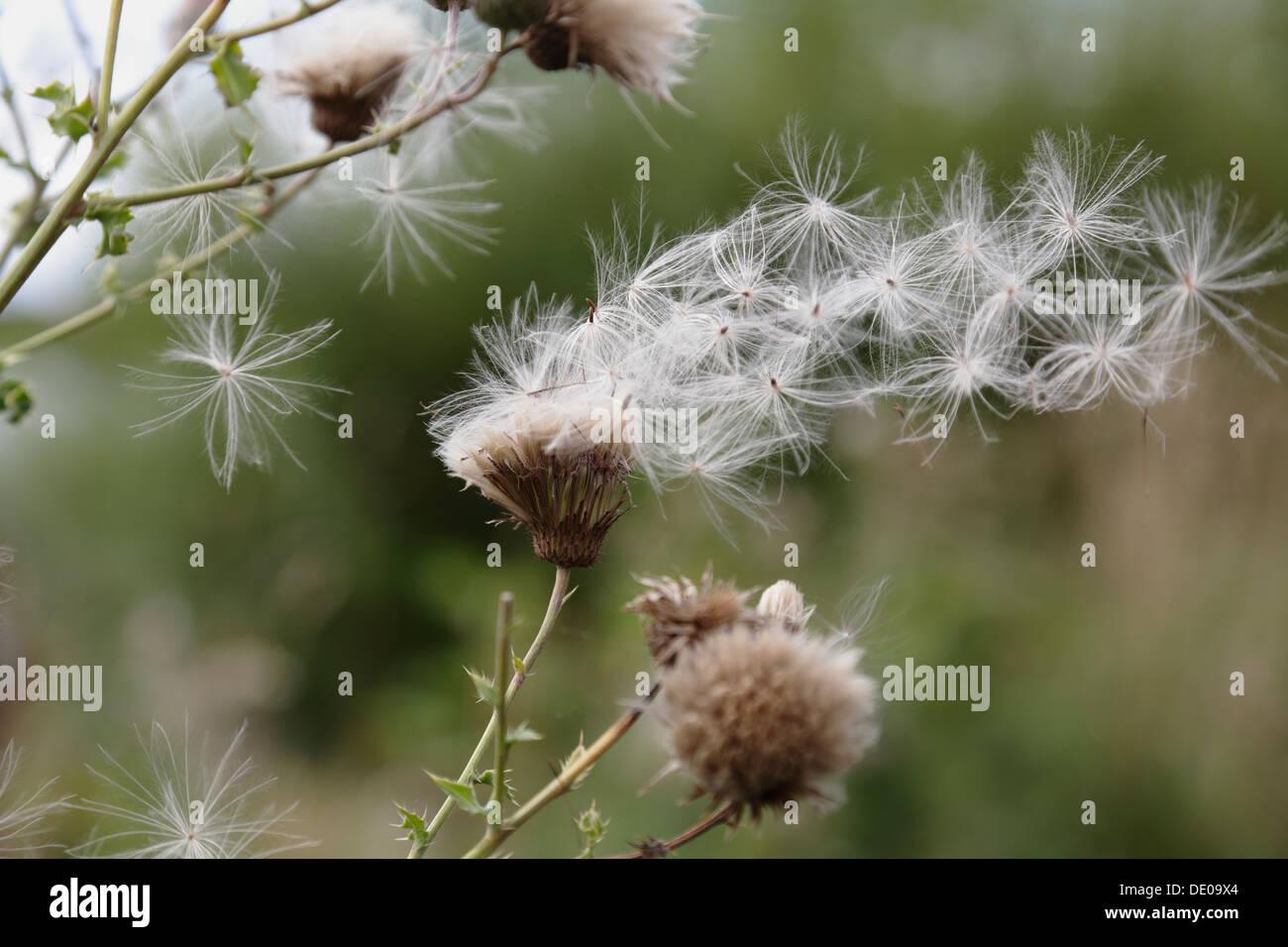 Graines de fleurs sauvages dans le vent, Ecosse, Royaume-Uni Photo Stock