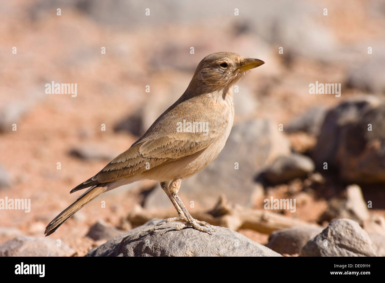 (Ammomanes deserti Desert Lark whitakeri), Libye, Sahara, Afrique du Nord, Afrique Photo Stock