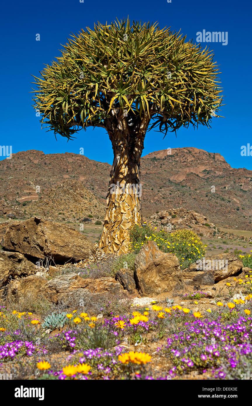 Quiver Tree géant, Kokerboom, Aloe dichotoma, Goegap nature reserve, le Namaqualand, Afrique du Sud Photo Stock