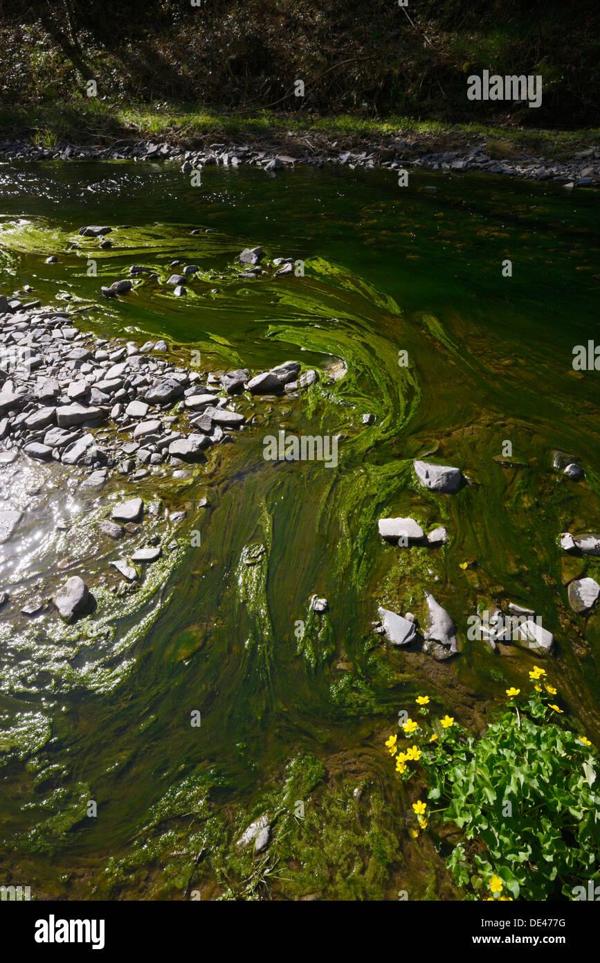 La prolifération des algues dans l'écosystème de la rivière d'eau douce, une réponse à l'augmentation des concentrations d'éléments nutritifs au printemps, rivière Wyre, Llanrhystud, Pays de Galles, Royaume-Uni Photo Stock