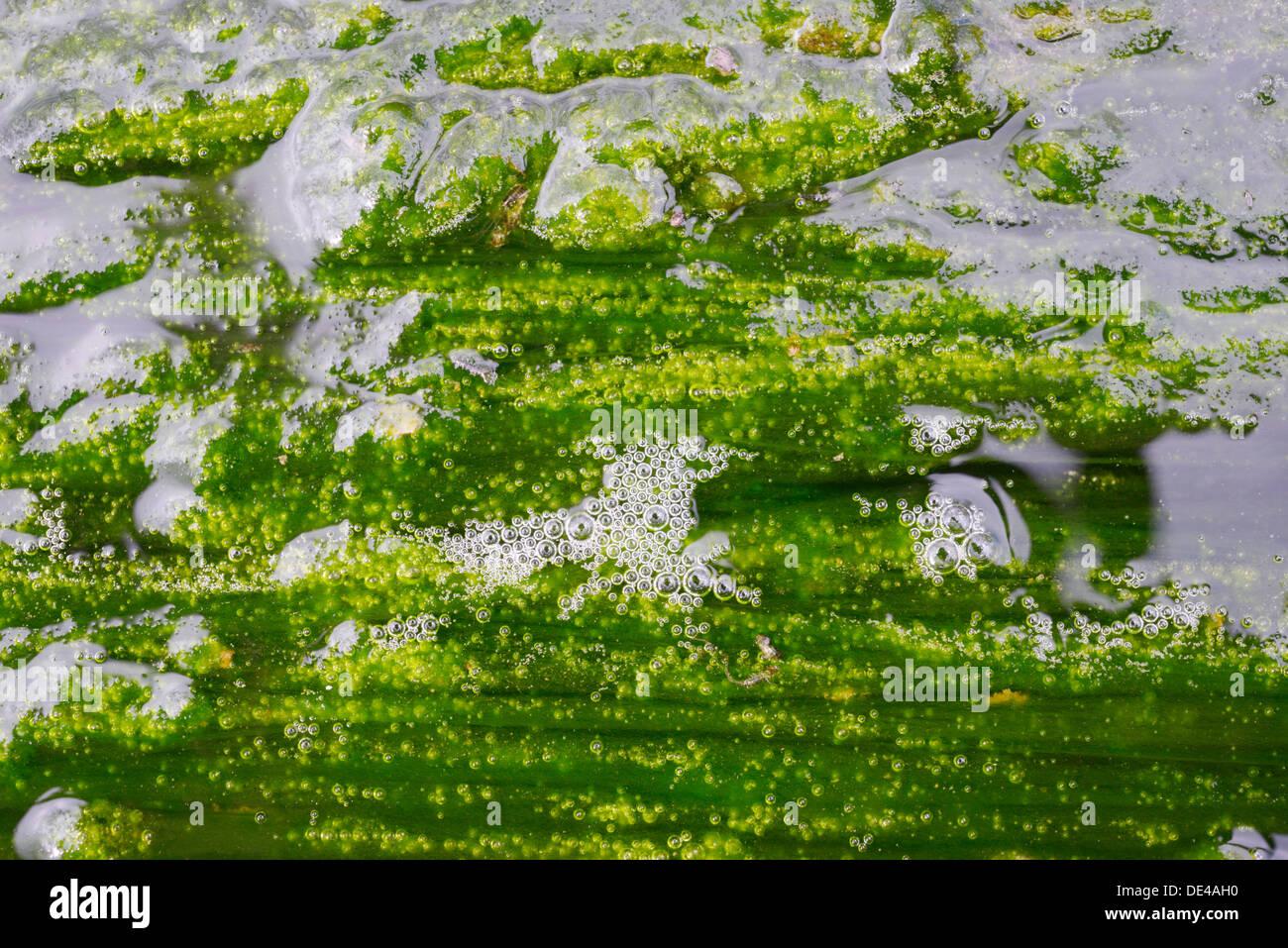Jusqu'AClose de prolifération des algues dans l'écosystème de la rivière d'eau douce montrant des bulles de gaz de l'oxygène produit par la photosynthèse, Pays de Galles, Royaume-Uni. Photo Stock