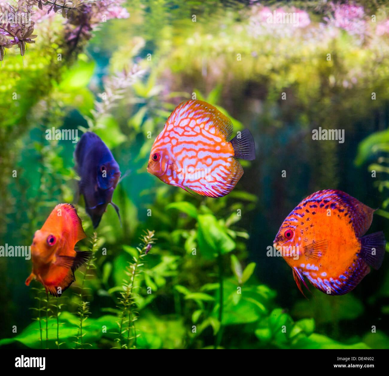 Symphysodon discus dans un aquarium sur un fond vert Banque D'Images