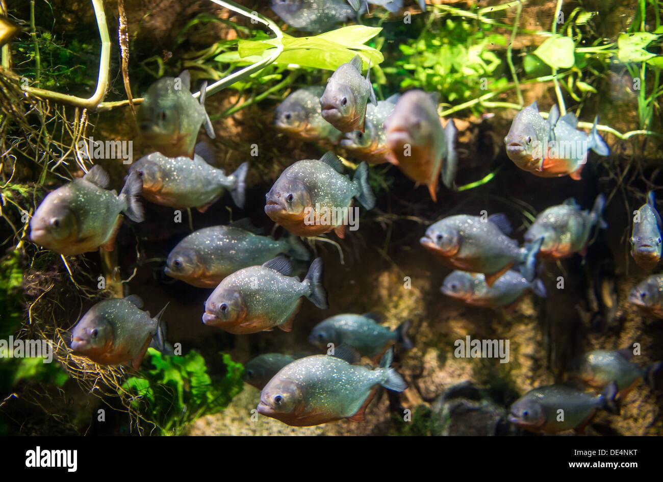 Piranha (Colossoma macropomum) dans un aquarium sur un fond vert Banque D'Images