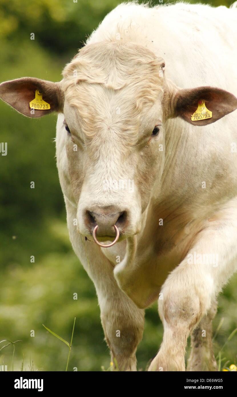 disponible pas mal chaussures exclusives Limousin taureau avec anneau dans le nez dans les pâturages ...