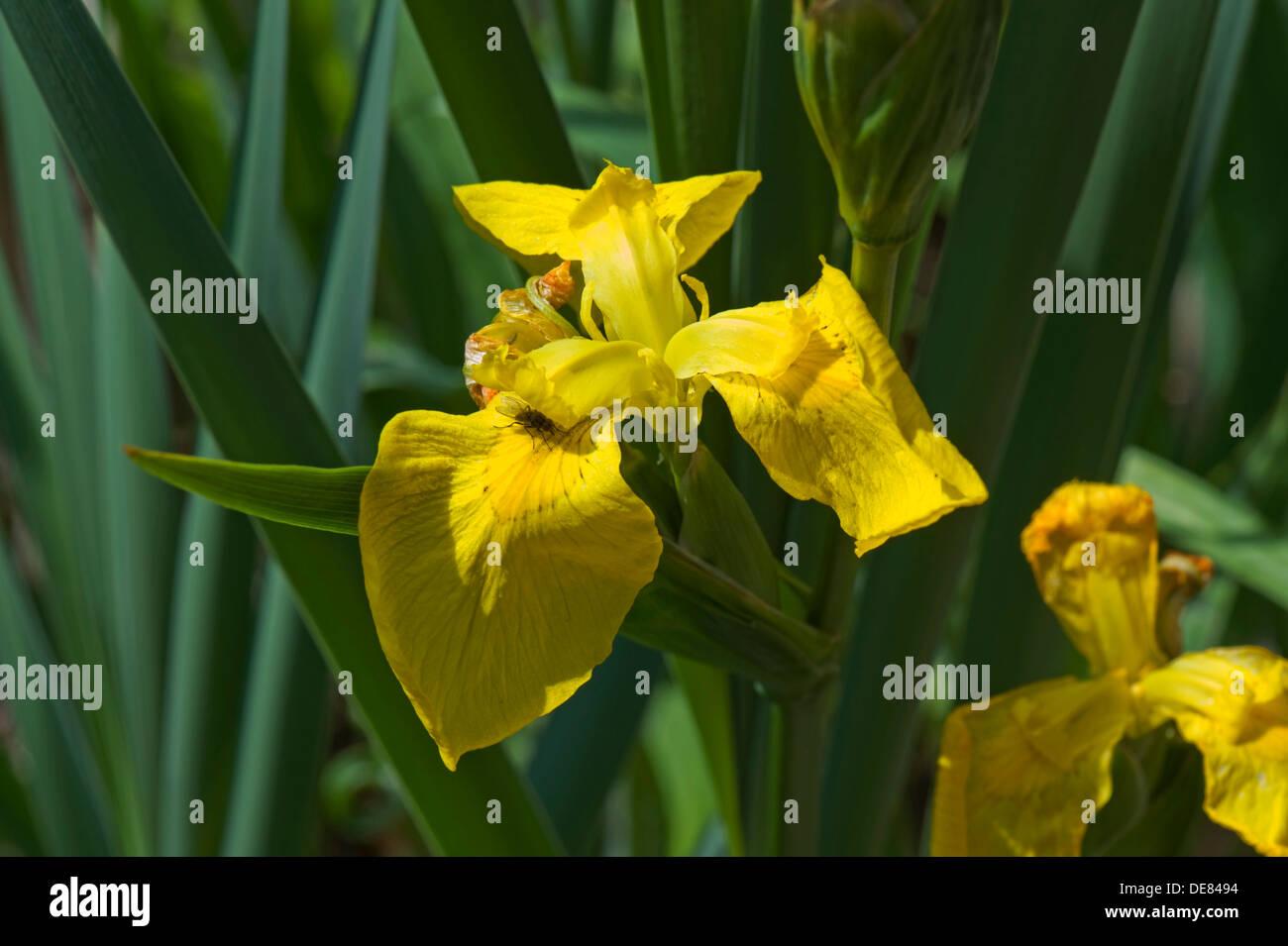 Drapeau jaune iris, Iris pseudocorus, fleur Photo Stock