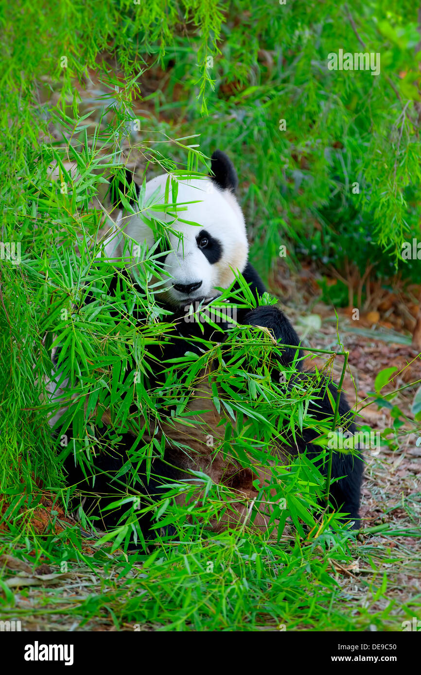 Panda géant Photo Stock