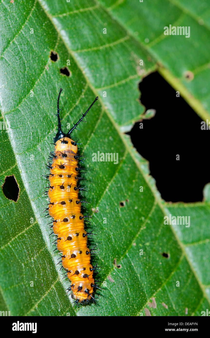 Gulf Fritillary ou Passion (Agraulis vanillae papillon), Caterpillar, Lake Balaton forêt tropicale, Parc national Yasuni, en Equateur Photo Stock