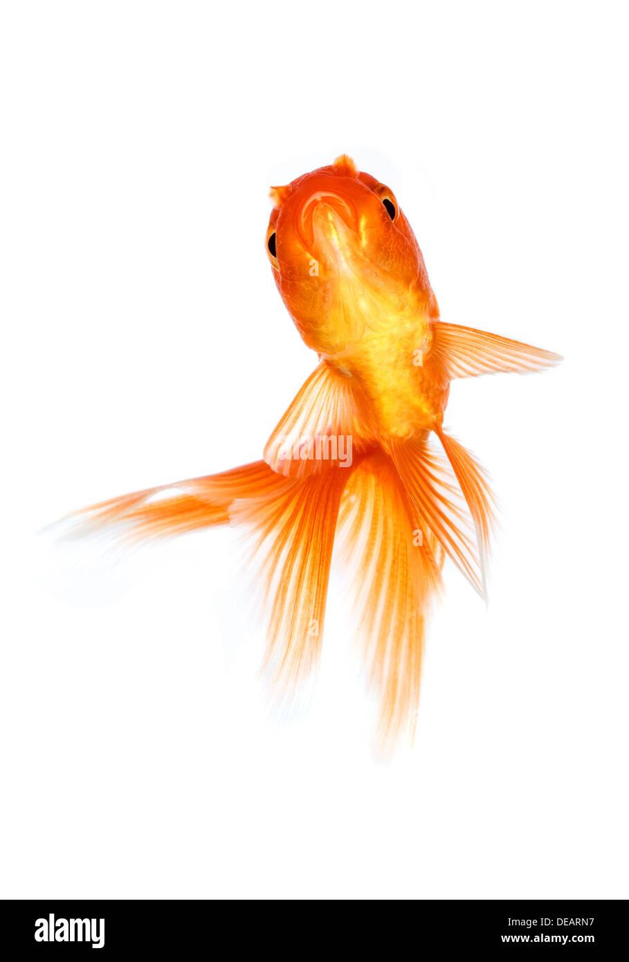 poisson rouge isol sur fond blanc banque d 39 images photo stock 60474435 alamy. Black Bedroom Furniture Sets. Home Design Ideas