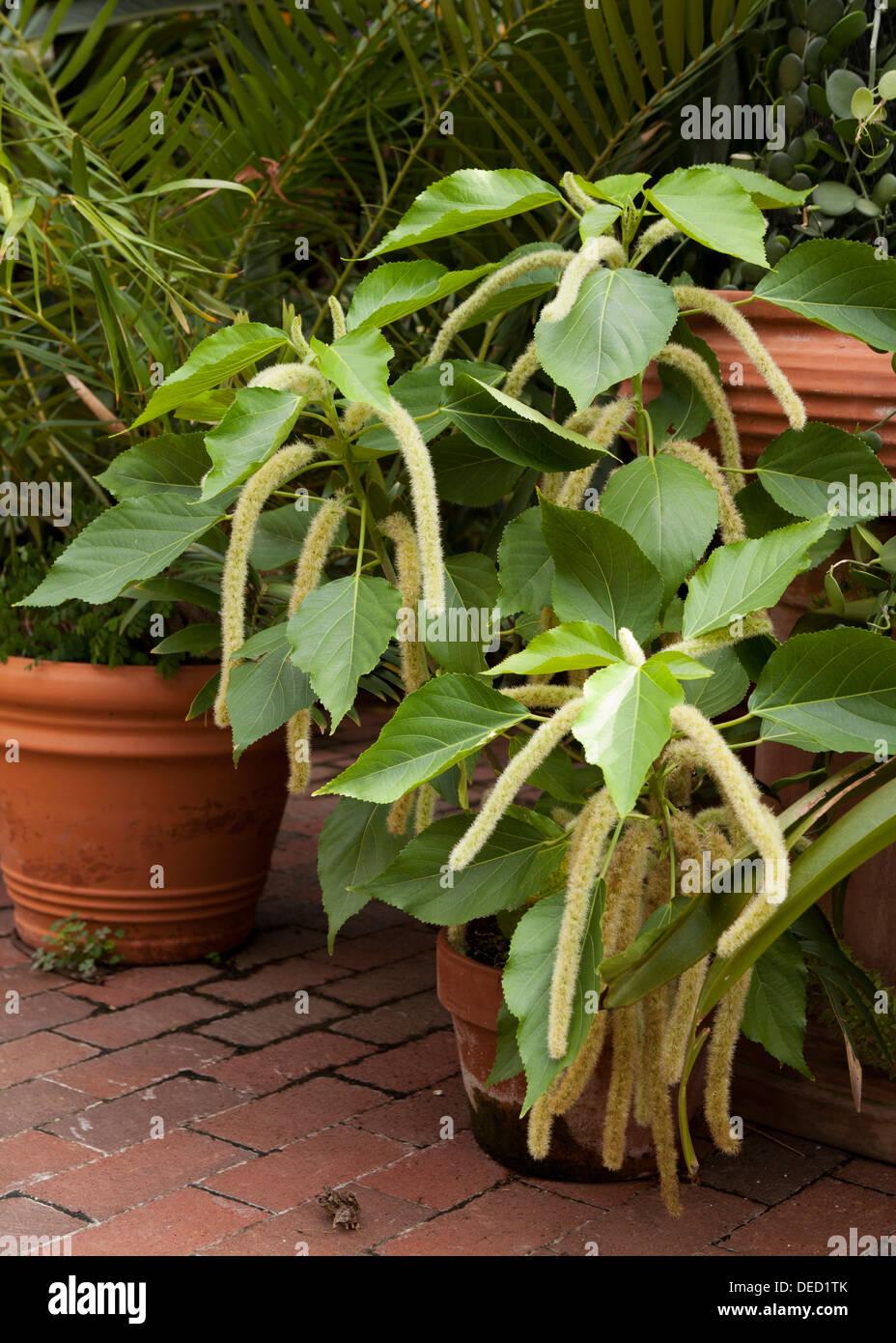 La princesse Jade millet ornemental (Pennisetum glaucum) Photo Stock