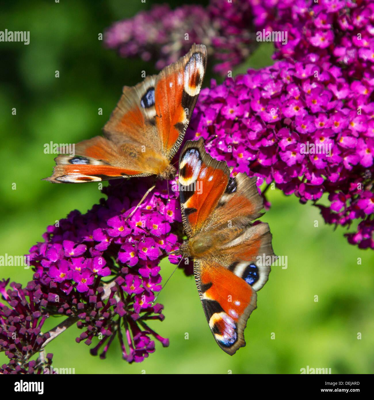 Deux papillons paon (Aglais io / Inachis io) sur fleurs lilas d'été / butterfly Buddleja davidii (-bush) Photo Stock