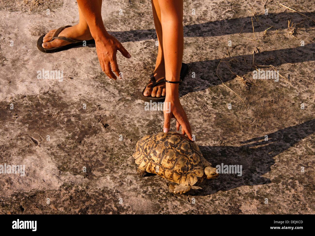 Une tortue de terre ou tortue est un reptile de l'ordre Testudines qui vit sur terre; comme leurs cousins aquatiques, les tortues de mer, Photo Stock