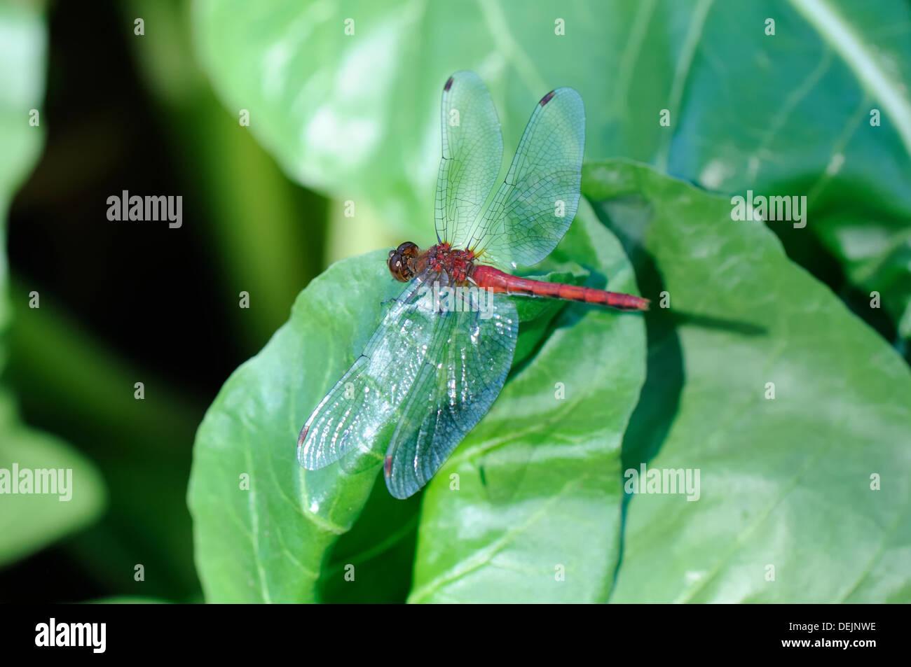 Dragon fly. Meadowhawk (Sympetrum) Banque D'Images