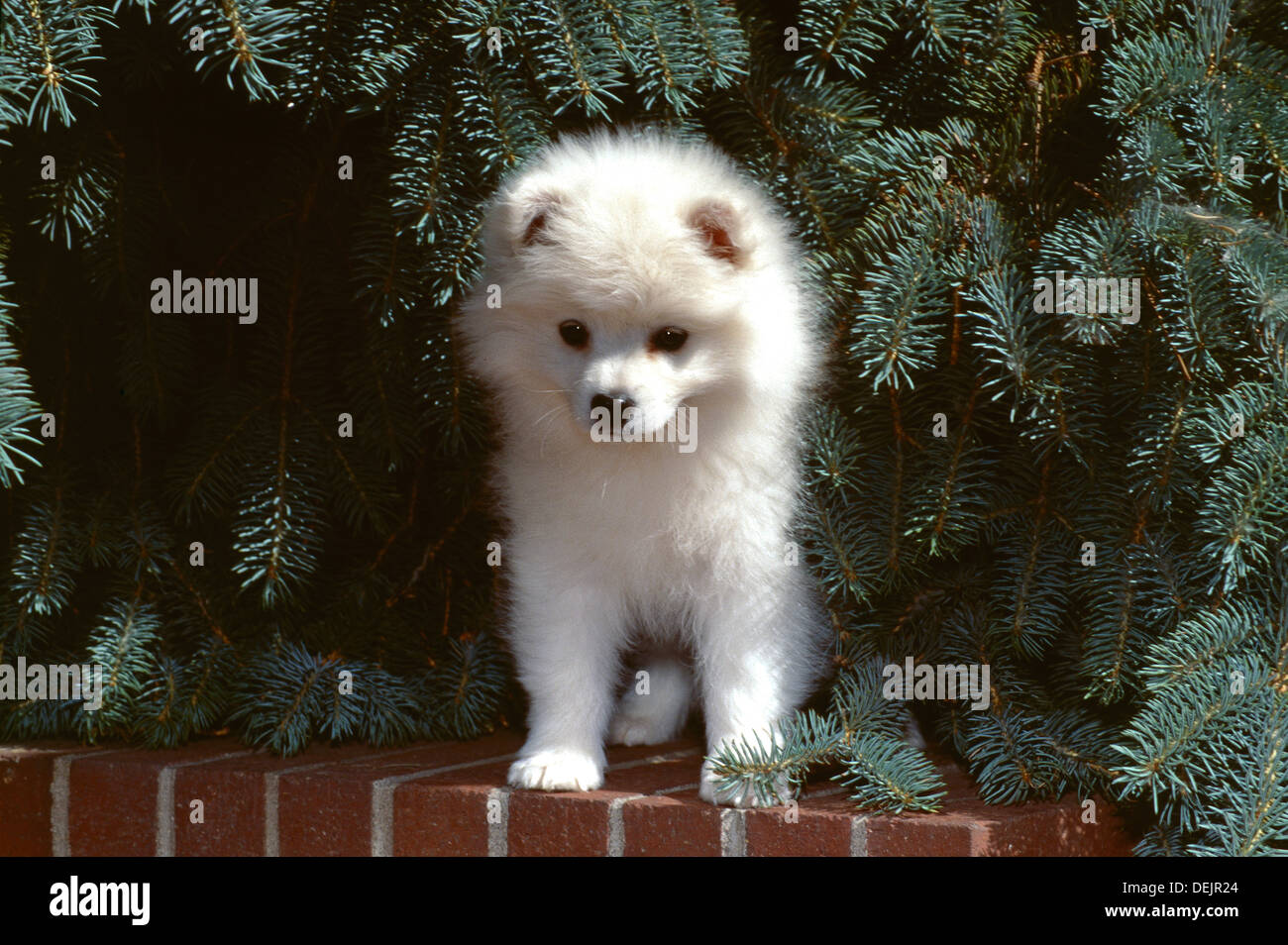 American Eskimo dog-puppy sitting on wall Banque D'Images