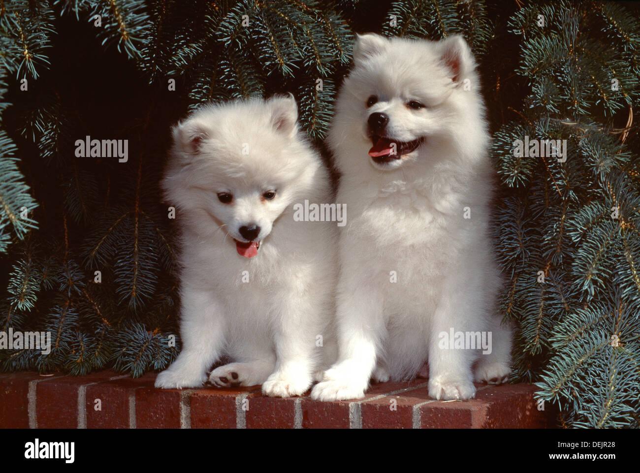 American Eskimo dog-deux chiots siégeant ensemble Banque D'Images