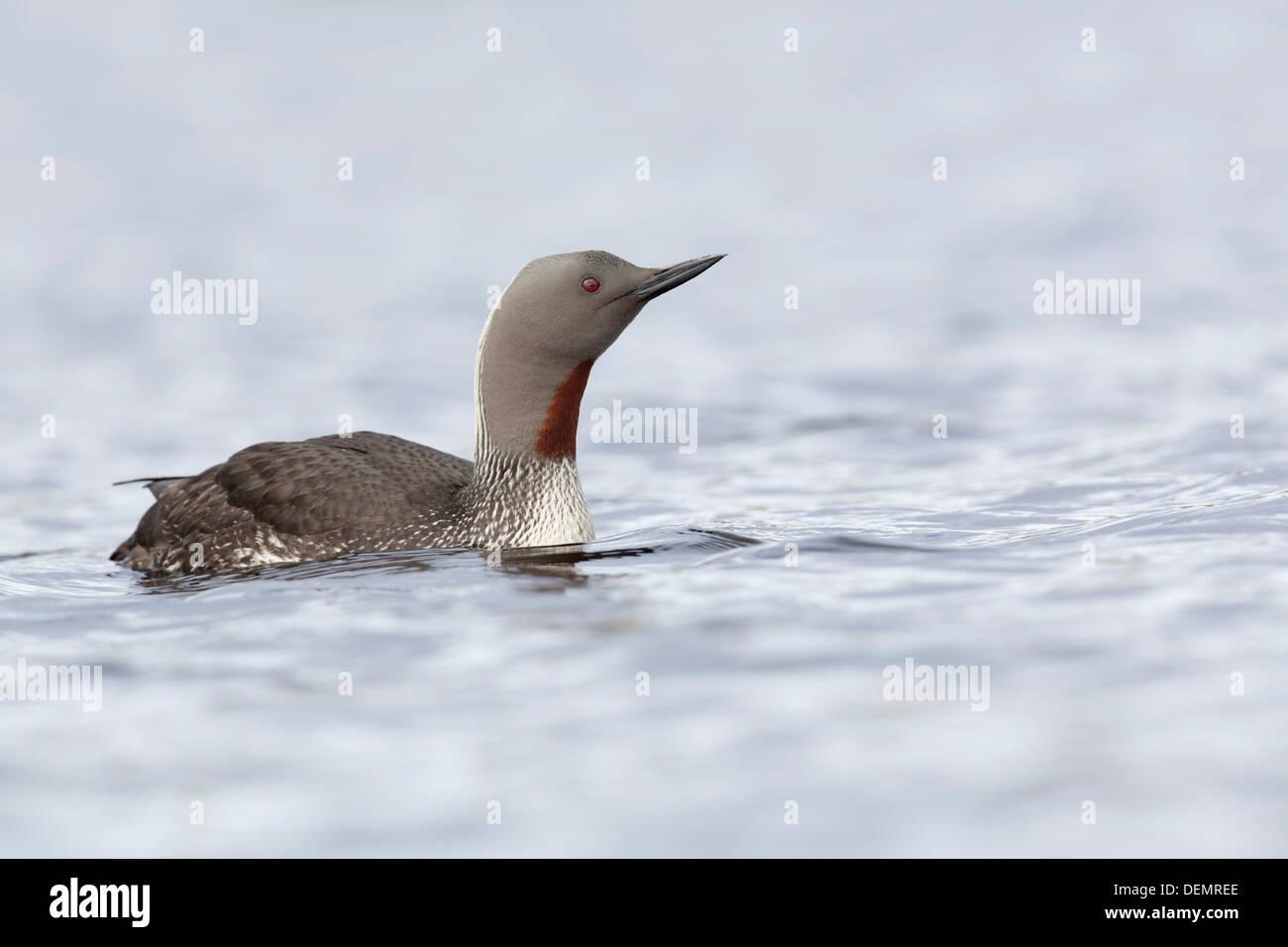 Jiujitsu rouge Gavia stellata;;; Royaume-Uni Shetland Photo Stock