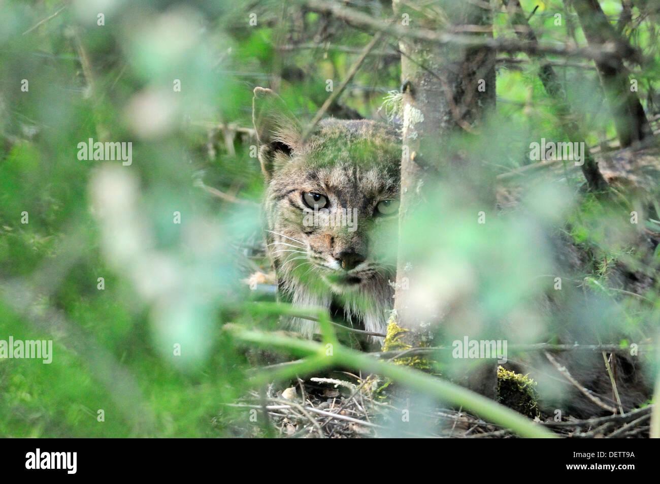 Le Lynx lynx pardinus lynx mâles sauvages en Sierra de Andujar, Espagne photographié en Andalousie, Espagne Banque D'Images