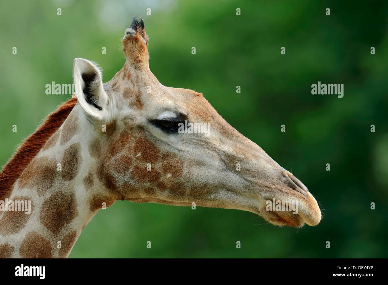 Communauté Girafe (Giraffa camelopardalis angolensis), portrait, originaire de la Zambie, la Namibie, le Botswana et le Zimbabwe, captive, France Banque D'Images