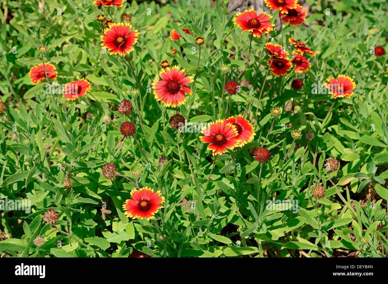 Firewheel, Blanketflower couverture indienne, indienne ou Sundance (Gaillardia pulchella), Merritt Island, Florida, United States Photo Stock
