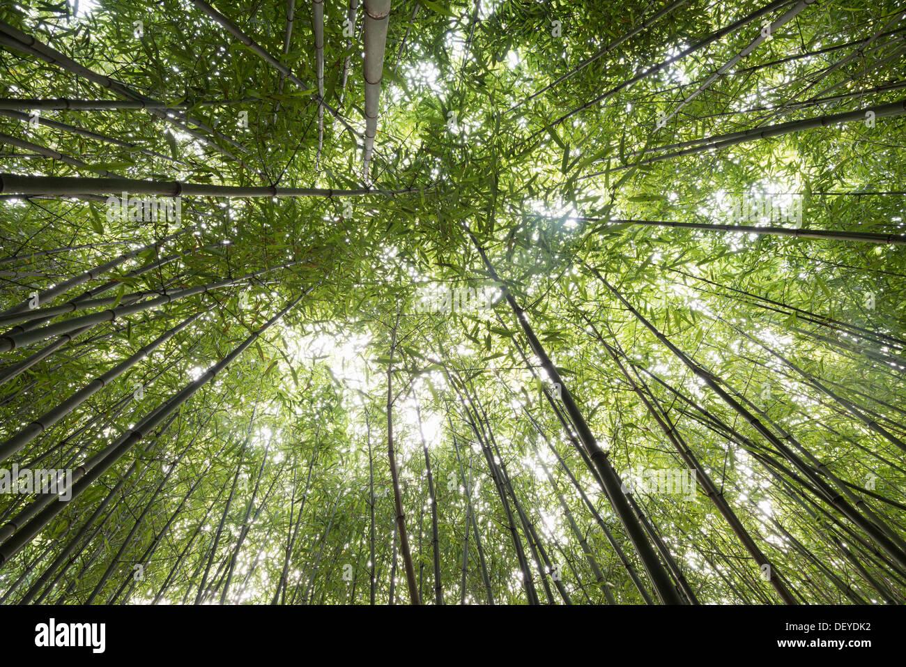 Bamboo grove, la perspective d'en bas, forêt de bambous, près de Freiburg im Breisgau, Forêt-Noire, Bade-Wurtemberg Photo Stock