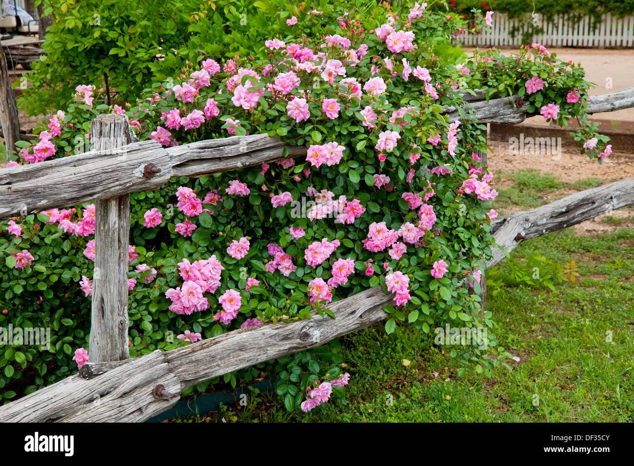 Un vieux jardin clôture rustique avec des roses sauvages au ...
