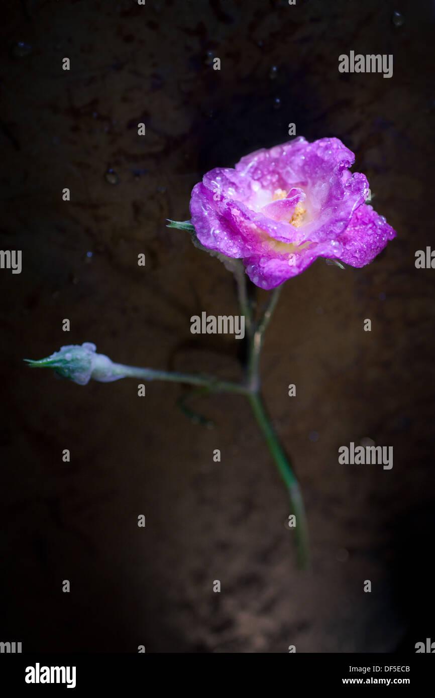 Une Fleur Fragile Enchasse Dans La Glace Banque D Images Photo