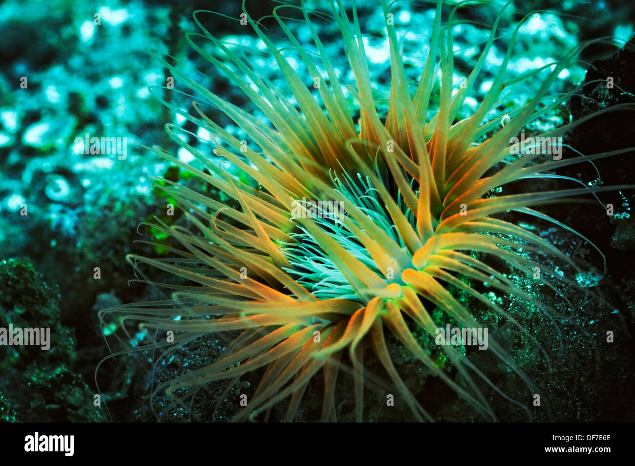 Anémone tubicoles (Ceriantharia), Raja Ampat, Papouasie occidentale, en Indonésie Photo Stock