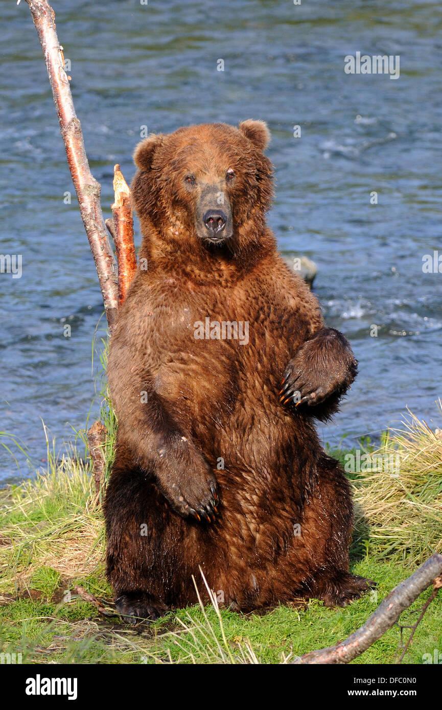 Grizzli ours brun mal rayer son dos Ursus arctos horribilis Brooks River, Katmai National Park, Alaska, USA Photo Stock