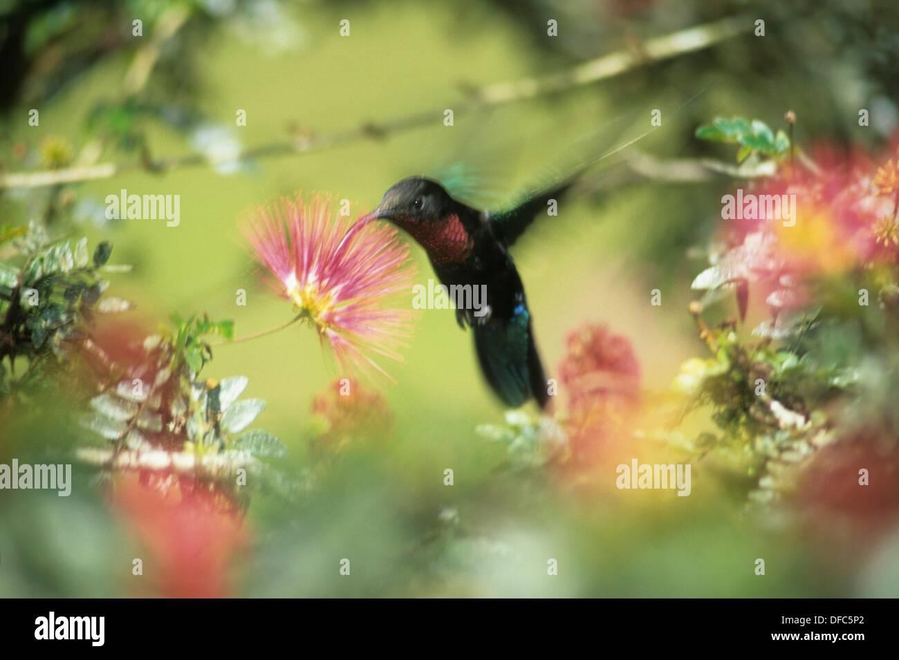 Colibri,Jardin de Balata Ile de la Martinique Département et Région d'Outremer francais Archipel des Antilles Photo Stock