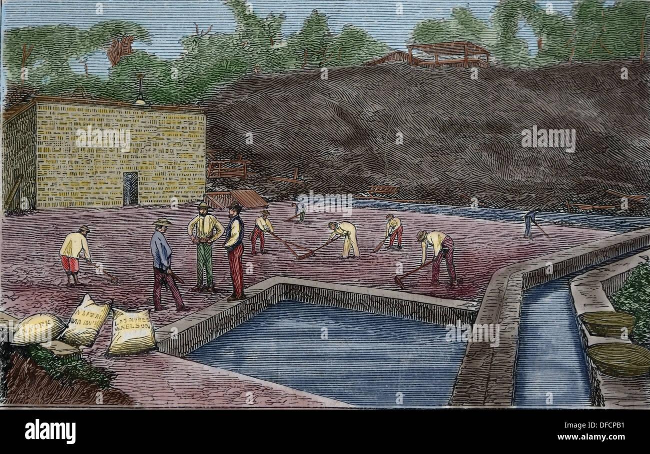 La production de café. Séchage du café traditionnel. Plantation de Guatemala. Gravure en couleur. Photo Stock