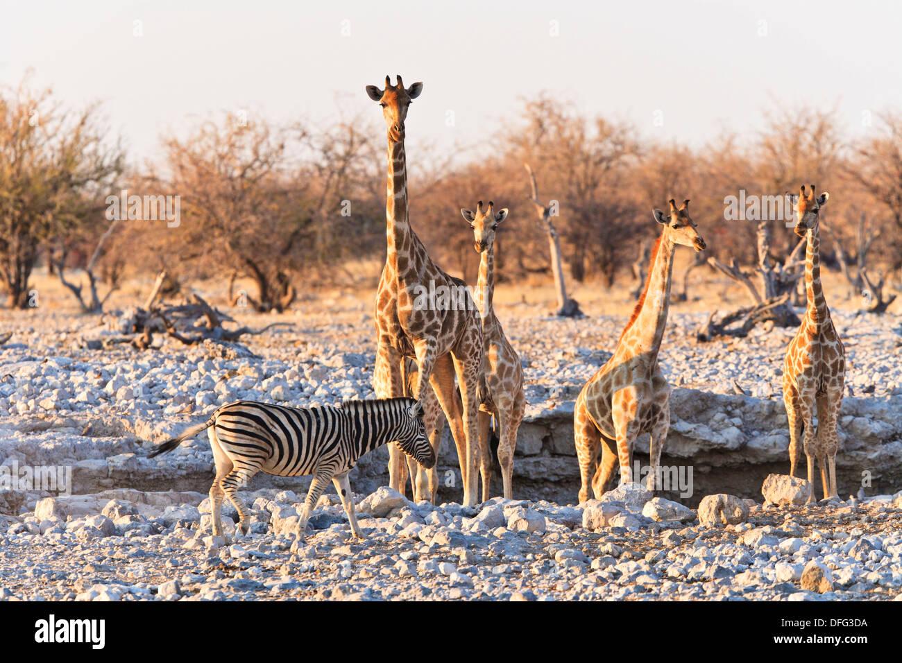 Les Girafes (Giraffa camelopardalis) et un seul le zèbre de Burchell (Equus burchelli) à un étang dans le Parc National d'Etosha, Photo Stock