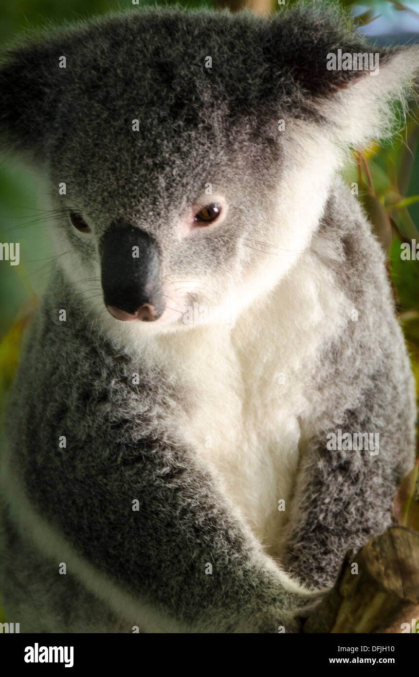 Le Koala, Zoo de l'Australie, Queensland, Australie Photo Stock