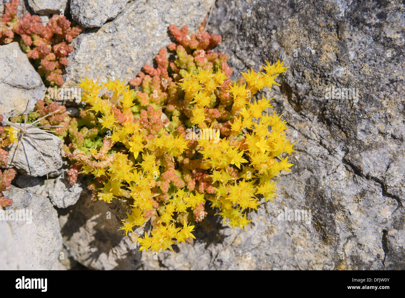 Biting Stonecrop Sedum acre,, fleurs sauvages, Dorset, Angleterre Photo Stock